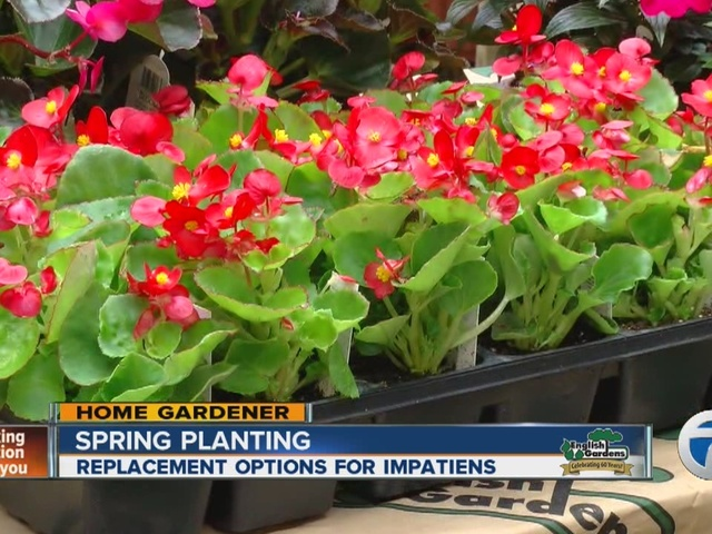 Home Gardener: Spring Planting, replacement options for Impatiens