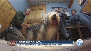 2 Genesee County dogs test positive for lead