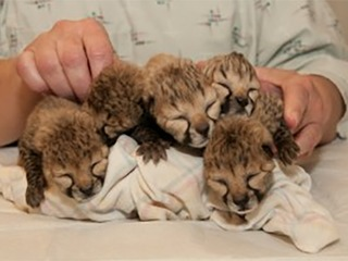 5 cheetahs born in rare C-section procedure