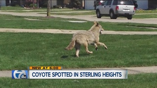 Coyote warning issued in Sterling Heights