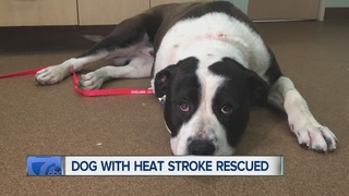 Dog saved after found dying from heat stroke