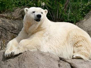Detroit Zoo announces death of polar bear Tundra