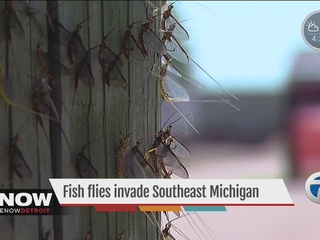 Fishflies returning to areas near Lake St. Clair