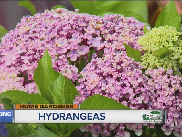 English Gardens Home Gardener: Hydrangeas