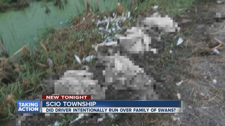 Family of swans run over in Scio Township