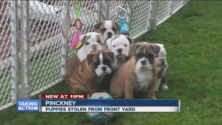Bulldog puppies stolen from woman's front yard