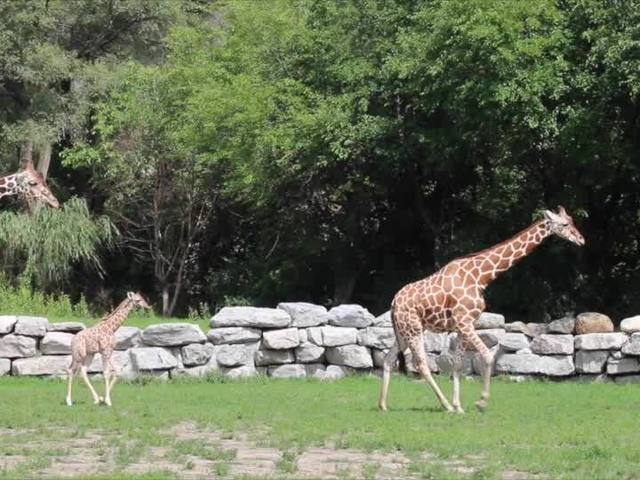 Detroit Zoo's new baby giraffe meets her family for the first time