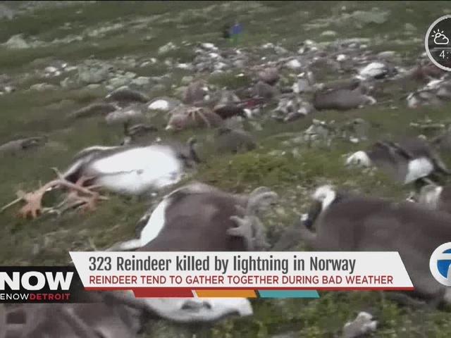 Strange lightning strike kills 300 reindeer in Norway