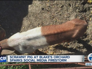 Photo of skinny pig at Blake's sparks outrage