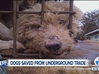 Rescue group helps save dogs from meat trade