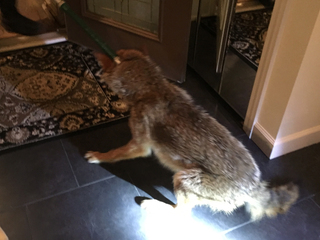 Couple startled to find coyotes in their home