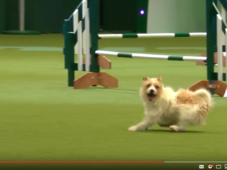 Jack Russell Terrier's hilarious agility antics