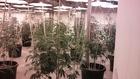 Illegal marijuana grow op found in building