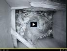 Watching Eastern Screech Owl nest live is a hoot