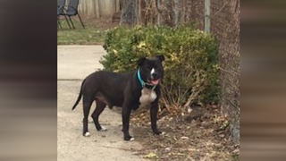 Pit Bull stolen during home invasion