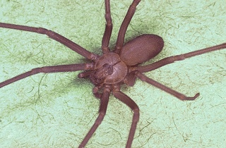 Dangerous brown recluse spider found in Michigan
