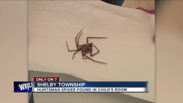 MI woman finds giant Huntsman spider in toddler's bedroom