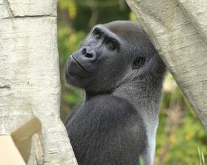 Celebrate World Gorilla Day at the Detroit Zoo