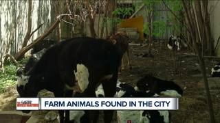 Farm animals found hidden, starving in Detroit