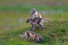 Woman says she bought Arctic fox pup in Michigan