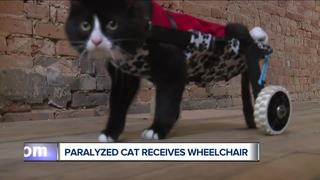 Earl the paralyzed cat gets a wheelchair!