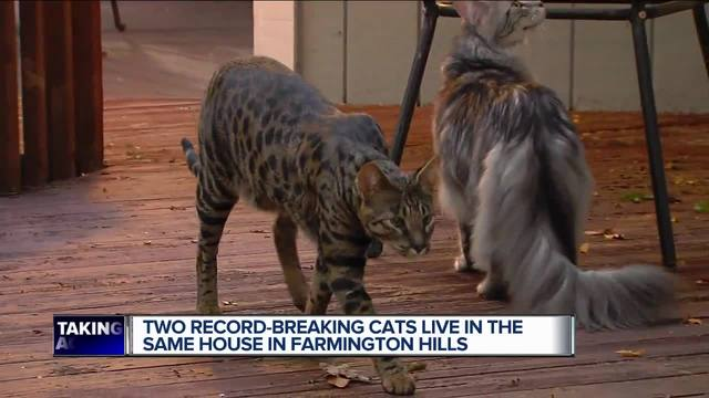 Two Record-Breaking Cats Live in the Same Home