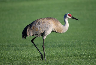 MI House wants to allow Sandhill Crane hunting