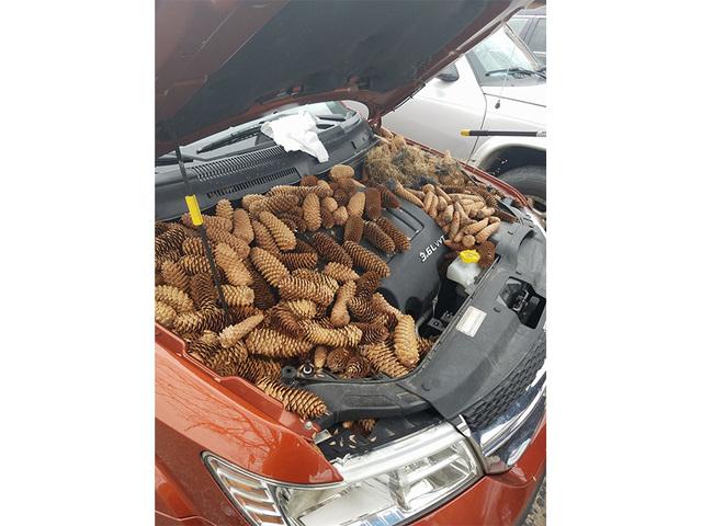 Squirrels Dozens Of Pine Cones Under Hood Car