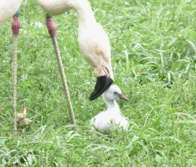 Five baby flamingos hatch at Detroit Zoo
