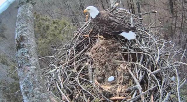 watch live  bald eagles nesting near traverse city