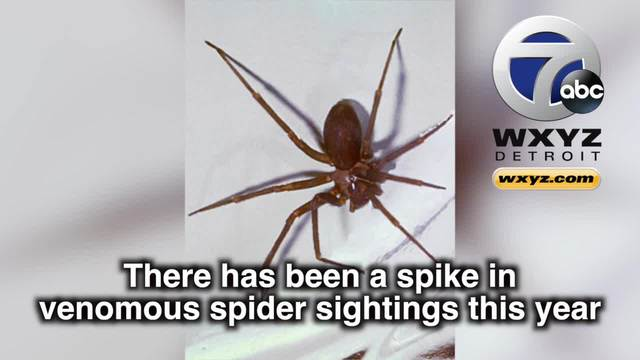 spike in venomous brown recluse spider sightings reported in michigan wxyz com