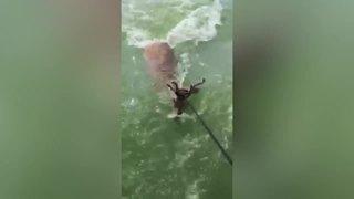 Men rescue deer 3 miles offshore in Lake Erie