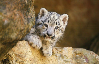 Snow leopard upgraded to 'vulnerable' status