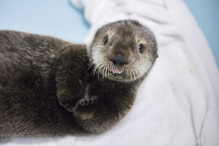 Sea otter pup found on Alaska beach rescued