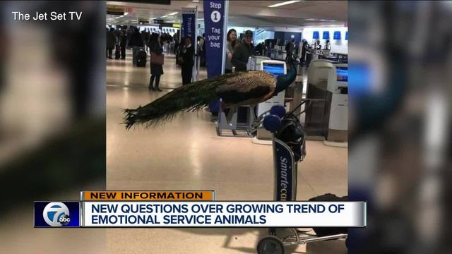 United Airlines denies peacock support animal to board plane in New Jersey
