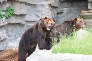 Grizzly Bear Brothers enjoy new expanded habitat