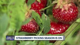Strawberry picking season starts in Michigan