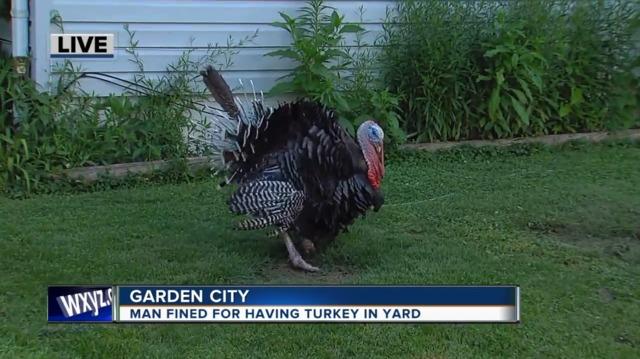 Garden City man fined for turkey living in his backyard - WXYZ.com