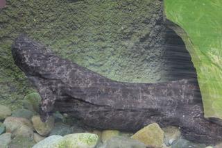Giant salamanders to debut at Detroit Zoo