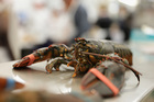 Fishmonger offers lobsters some herb