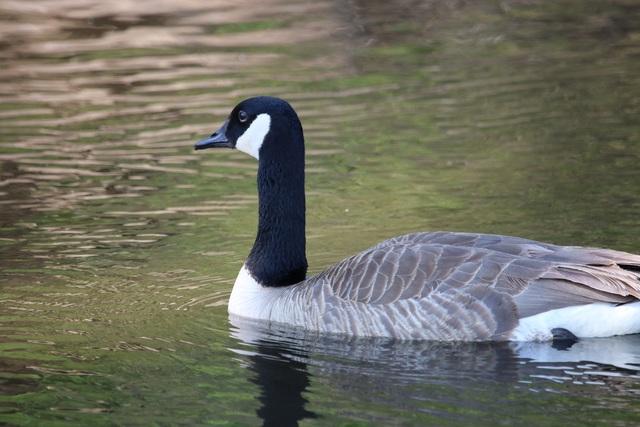 K 9 Goose Control Dogs 'haze' geese to c...